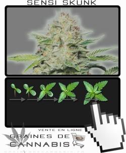 Comment faire pousser Autoflo cannabis?