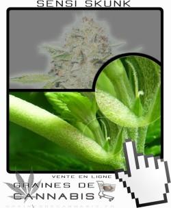 Comment faire fleurir Sensi Skunk Autoflo cannabis?