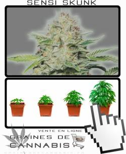 Tailler autoflo cannabis